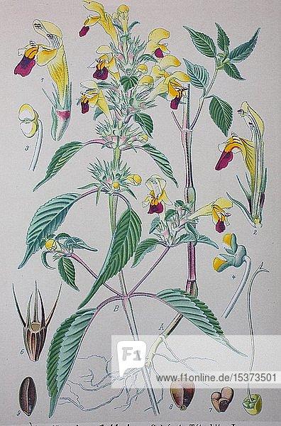 Gewöhnlicher Hohlzahn (Galeopsis tetrahit)  historische Illustration von 1885  Deutschland  Europa