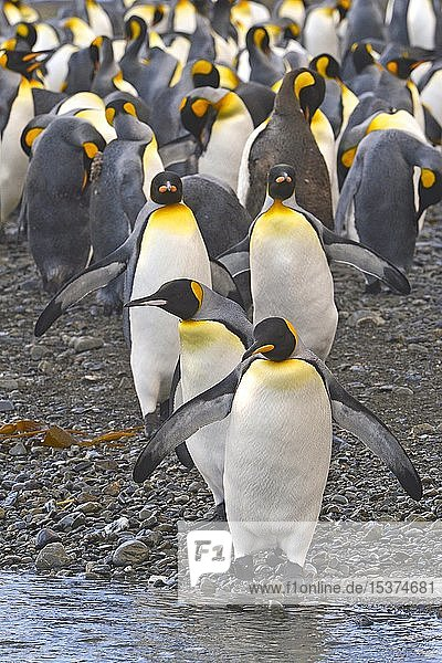 Königspinguine (Aptenodytes patagonicus)  Pinguinkolonie auf South Georgia Island  Südgeorgien  Antarktis  Antarktika
