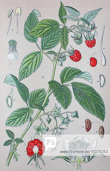 Himbeere (Rubus idaeus) genannt  historische Illustration von 1885  Deutschland  Europa