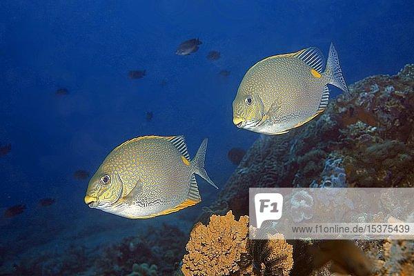 Goldfleck-Kaninchenfische (Siganus guttatus)  Dumaguete  Negros  Philippinen  Asien