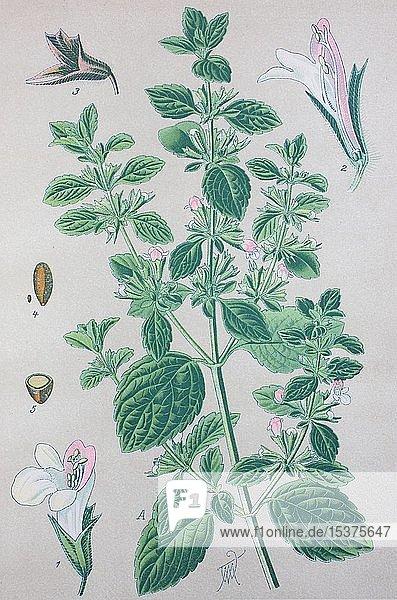 Zitronenmelisse (Melissa officinalis)  historische Illustration von 1885  Deutschland  Europa