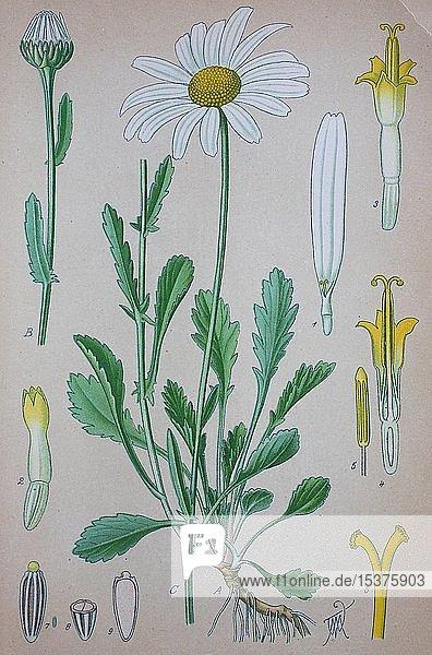 Magerwiesen-Margerite (Leucanthemum vulgare)  historische Illustration von 1885  Deutschland  Europa