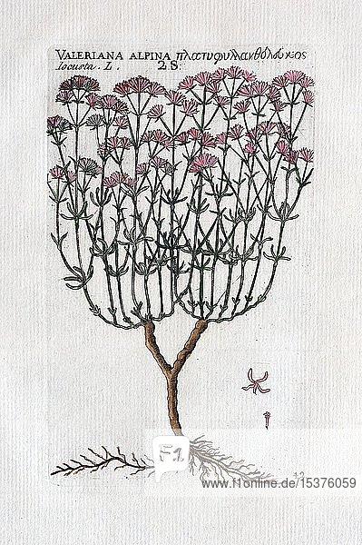 Alpenspeik (valeriana alpina)  Handkolorierter Kupferstich von Pierre Richer de Belleval  veröffentlicht von Jean Emmanuel Gilibert  in Démonstrations élémentaires de botanique  Lyon 1796  Frankreich  Europa