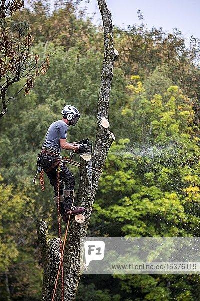 Baum wird gefällt  Baumkletterer klettert mit Motorsäge in den Baum und sägt  Deutschland  Europa