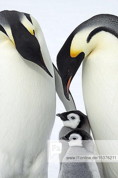Kaiserpinguine (Aptenodytes forsteri)  Pinguinkolonie  Jungtiere stehen geschützt zwischen Alttieren auf Eis  Antarktis  Antarktika