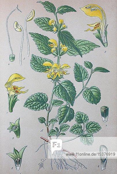 Gewöhnliche Goldnessel (Lamium galeobdolon)  historische Illustration von 1885  Deutschland  Europa