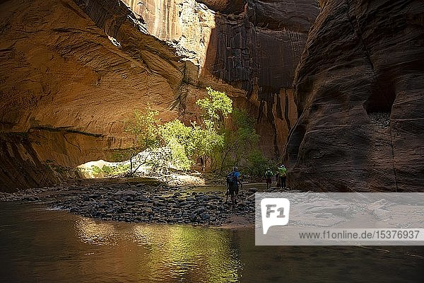 Wanderer  The Narrows  Engstelle des Virgin River  Steilwände des Zion Canyon  Zion Nationalpark  Utah  USA  Nordamerika