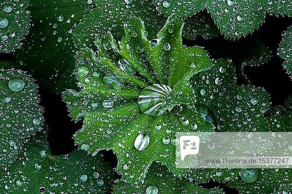 Regentropfen auf wasserabweisenden Pflanzenblättern