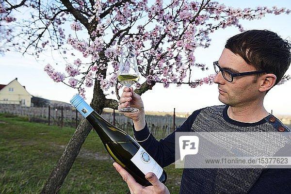 Weinkenner testet Weißwein vor einem blühenden Mandelbaum  Burrweiler  Pfälzer Mandelpfad  Deutsche Weinstraße  Rheinland-Pfalz  Deutschland  Europa Weinkenner testet Weißwein vor einem blühenden Mandelbaum, Burrweiler, Pfälzer Mandelpfad, Deutsche Weinstraße, Rheinland-Pfalz, Deutschland, Europa