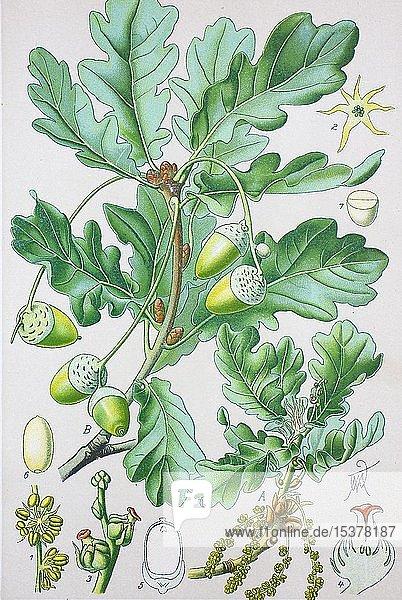 Stieleiche (Quercus robur)  historische Illustration von 1885  Deutschland  Europa
