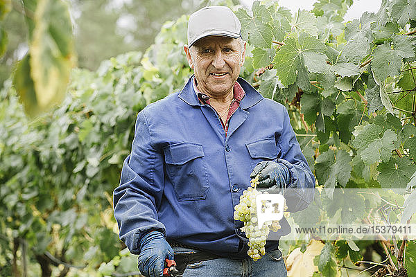 Portrait of a smiling man harvesting grapes in vineyard