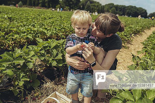 Mutter und Sohn pflücken Erdbeeren in einer Erdbeerplantage