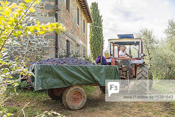 Mann auf Traktor mit geernteten Trauben auf Anhänger