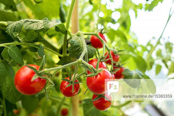 Bio-Tomatenpflanze  rote Tomaten