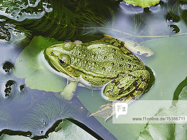 Teichfrosch im Teich