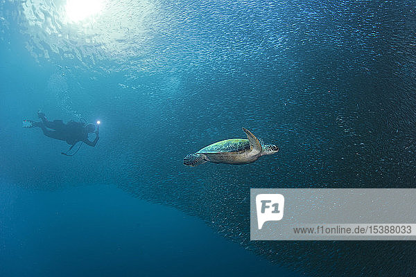 Diver with Green Sea Turtle in a schoal of sardines