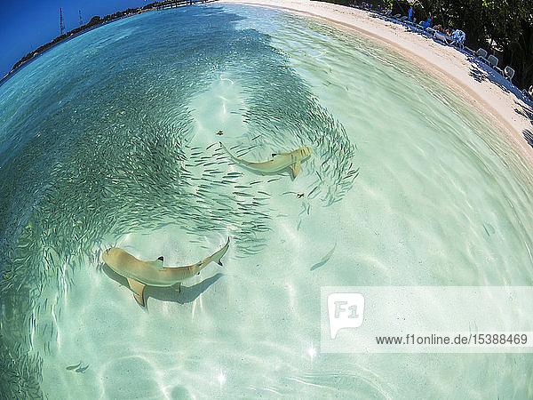Malediven,  Ross-Atoll,  Lagune mit Sardinen und Jagd auf Schwarzspitzen-Riffhaie