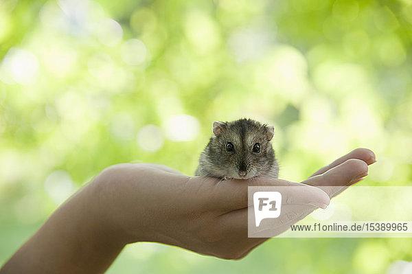 Porträt eines Hamsters  der in der hohlen Hand einer Frau kauert