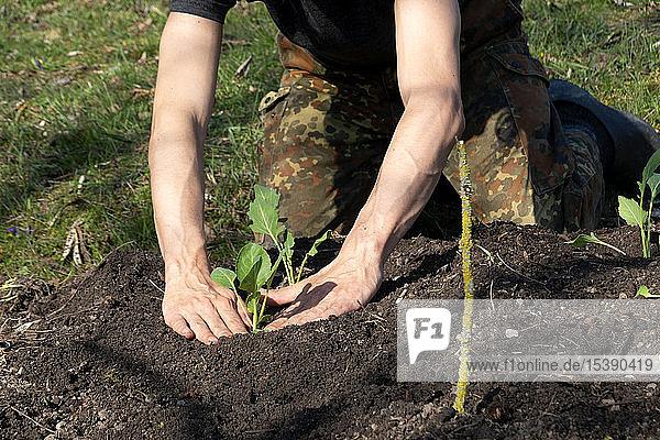 Man planting kohlrabi