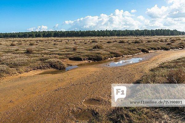 Desert like flora growing on tidal salt marsh at low tide near sand dunes on Holkham bay  North Norfolk coast  East Anglia  England .