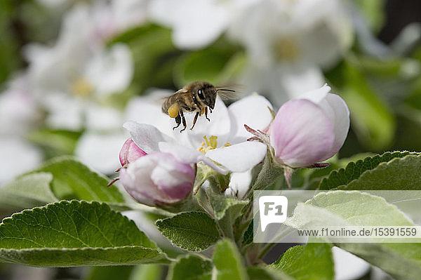 Biene auf einer Apfelblüte  Bayern  Deutschland