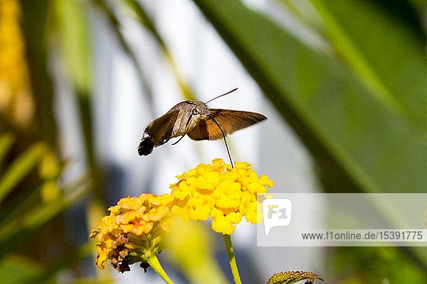 Kolibri-Falkenspanner auf Lantana-Camara-Blüte