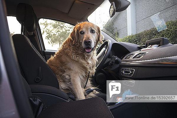 Golden Retriever auf dem Fahrersitz eines Autos sitzend