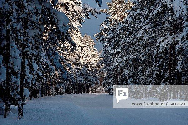 Sunlight over snowy forest in Võsu