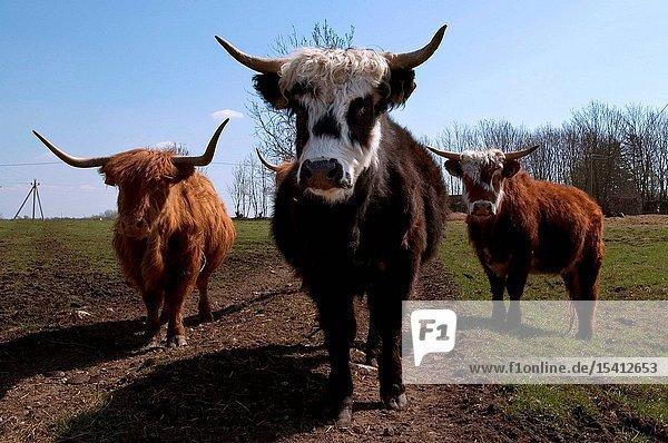 Cattle in Matsalu