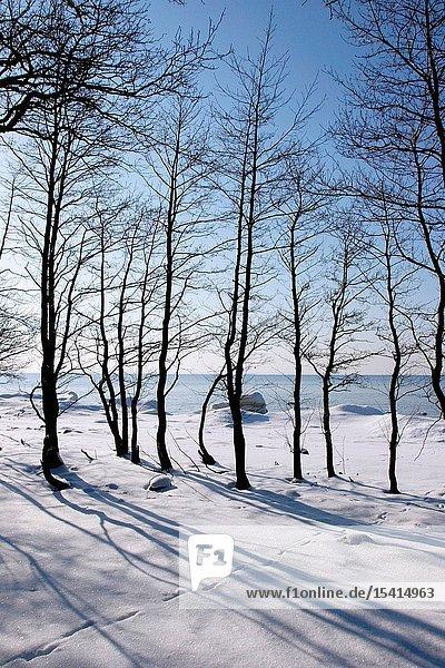 Bare Trees on the Coast of Lahemaa