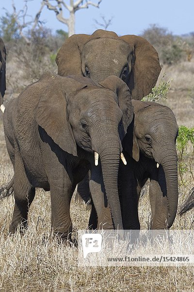 African bush elephants (Loxodonta africana)  elephant calves with elephant cow  walking on dry grass  Kruger National Park  South Africa  Africa.