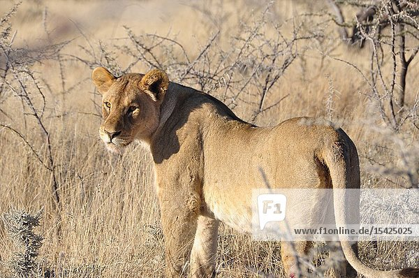 Lioness walking through the Etosha Nationalpark. The Etosha NAtionalpark is one of the world oldest.
