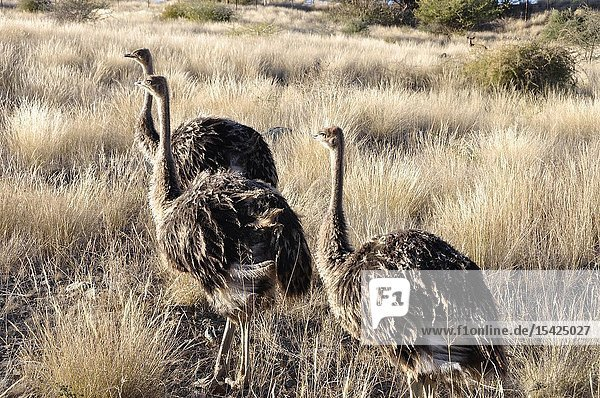 Young ostriches at Lake Oanob Resort near Rehoboth in Namibia.