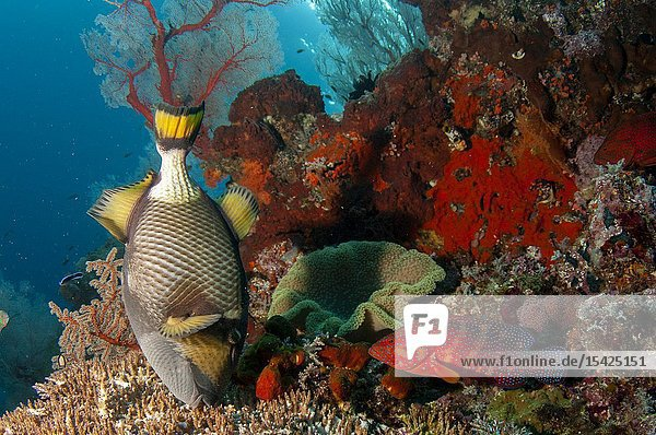 Titan Triggerfish (Balistoides viridescens) eating coral with Red Coral Grouper (Cephalopholis miniata)  Andiamo dive site  Dara Island  Misool  Raja Ampat  Indonesia.