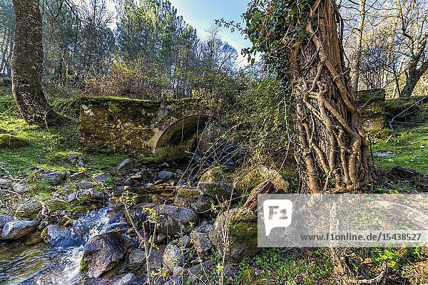Roots and bridge at Solana Toro stream. Iruelas Valley. Avila. Spain. Europe.