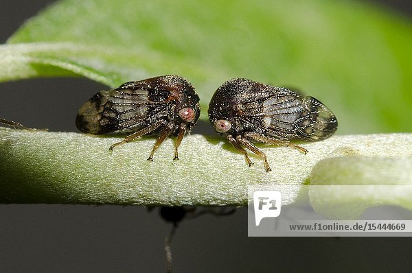 Pair of Treehoppers (Membracidae family) on stem  Klungkung  Bali  Indonesia.