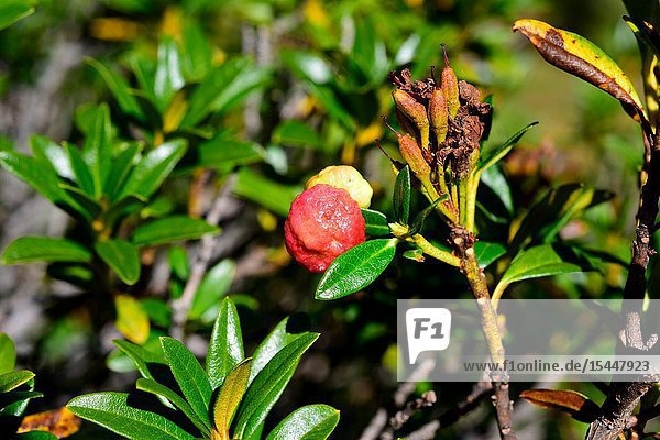 Exobasidium rhododendri is a parasite fungus that grows on alpenrose (Rhododendron ferrugineum). This photo was taken in Aiguestortes National Park  Lleida province  Catalonia  Spain.