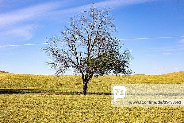 A single tree in the middle of rich  fertile farm land in Eastern Washington.