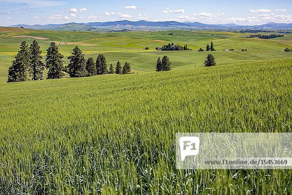 Kamiak Butte in Eastern Washington provides elevated views of the fertile and rich  producive farmland known as the Palouse  which sells wheat all over the world.