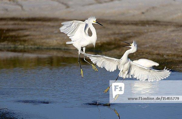 White heron (Ardea alba)  Siesta Key  Sarasota  Florida  USA..