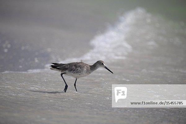 Common Sandpiper (Actitis Hypoleucos)  Siesta Key  Sarasota  Florida  USA..