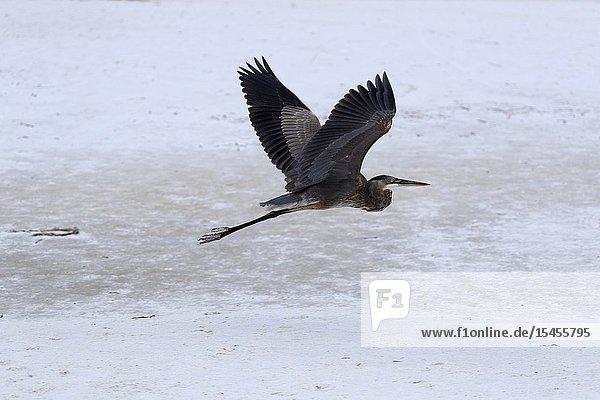 Little blue heron (Egretta caerulea)  Siesta Key  Sarasota  Florida  USA..
