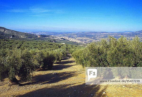 Olive groves and overview of the village. Quesada  Jaen province  Andalucia  Spain.