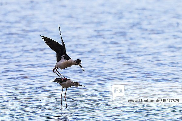 Black-winged Stilt (Himantopus himantopus). Mating pair in a flooded rice field. Environs of the Ebro Delta Nature Reserve  Tarragona province  Catalonia  Spain.