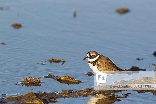 Common Ringed Plover (Charadrius hiaticula). Breeding adult. Hunting in a rice field which is about to be flooded. Environs of the Ebro Delta Nature Reserve  Tarragona province  Catalonia  Spain.