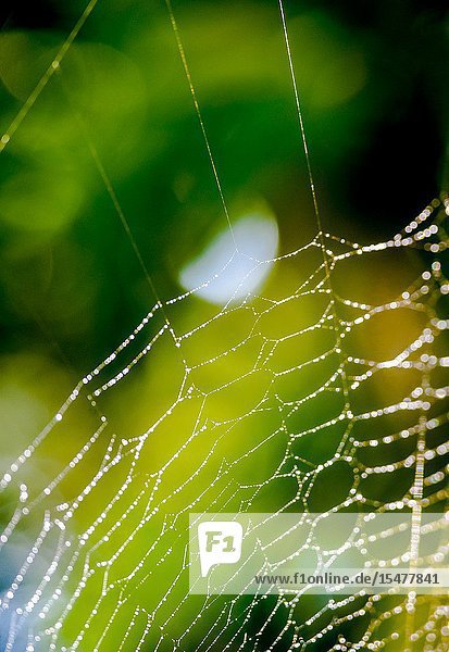 Detail of a spider web with dew droplets.