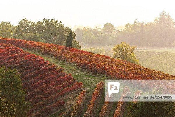 Autumn vineyards at sunset in Castelvetro di Modena  Emilia Romagna  Italy.