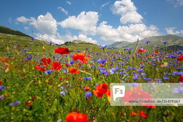 Flowering in Piana Grande  Castelluccio di Norcia  Umbria  Italy.