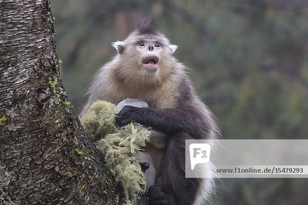 Yunnan Black Snub-Nosed Monkey (Rhinopithecus Bieti) in a natural environment in Yunnan - China.