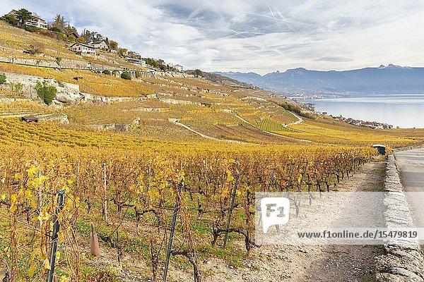 View of the lavaux vineyards surrounding Lake Geneva in autumn  Unesco World Heritage Site. Canton of Vaud  Switzerland.